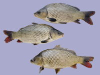 Three Carp Decals